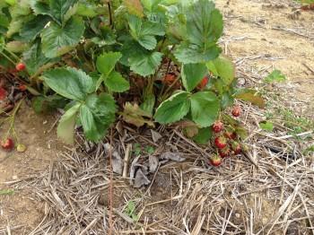 la fin des fraises